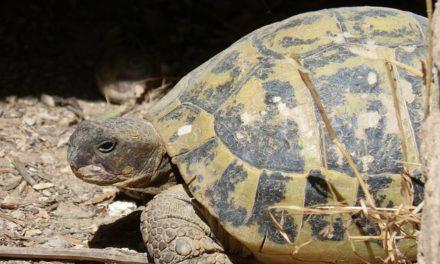 Quanto sono vecchie le tartarughe se tenute in modo adeguato alle specie?