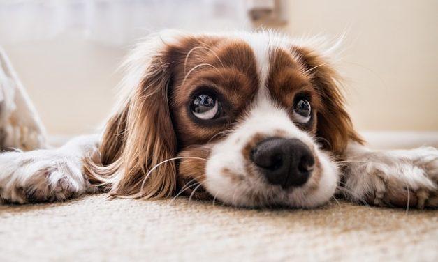 All'orecchio prude il cane costantemente: questo è quello che si può fare