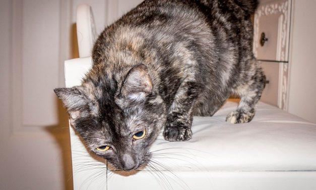Gatto Tortie Cat: Informazioni