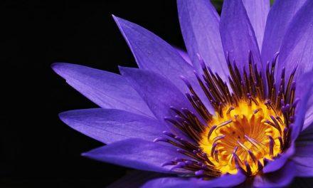 Gigli come piante domestiche: come creare buone condizioni