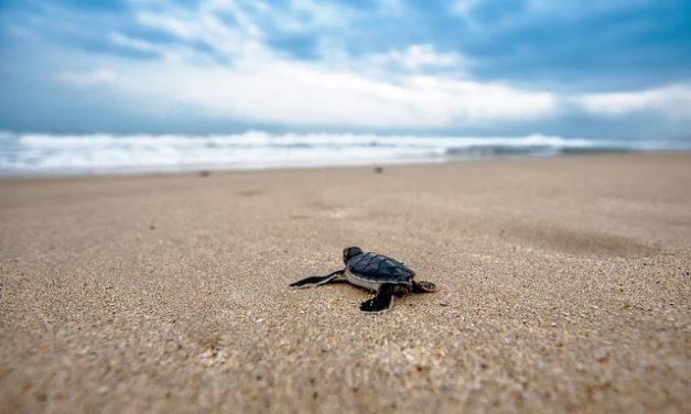 Tartaruga moresca e ibernazione