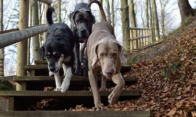 Cane svizzero di montagna bernese: Panoramica della razza
