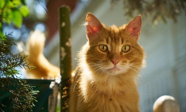 Il gatto ha tosse: cosa fare?