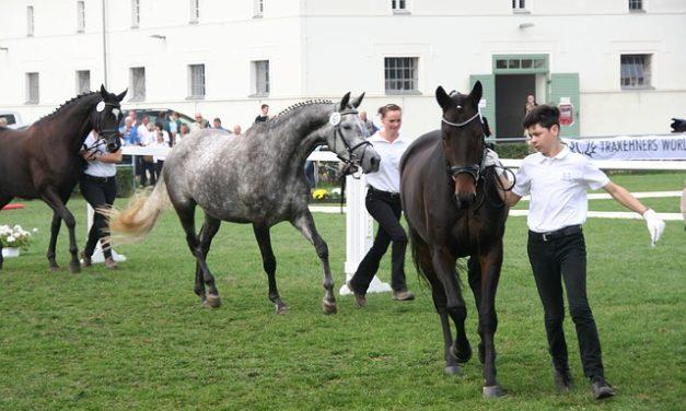 Gestüt Ganschow: cavalli di vendita: Vale la pena conoscere le caratteristiche di Trakehnern