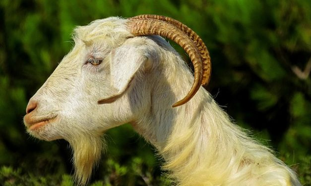 Mantenere le capre: ecco come dare agli animali una casa adatta alla specie