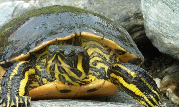 Tartaruga: Tagliare gli artigli nelle tartarughe