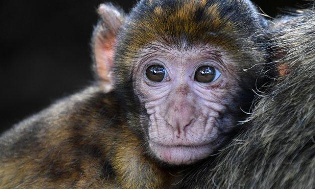 Per comprare scimmie cappuccine? Cosa dovresti considerare prima di tutto