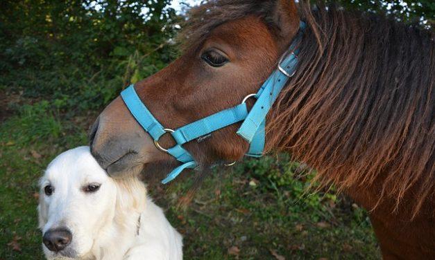 Pony Shetland – l'atteggiamento riesce così